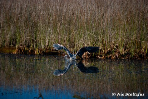 This is a picture of the Great Blue Heron diving for breakfast.